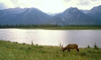 Elk, Canadian Rockies, Jasper National Park, Alberta
