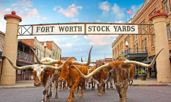 Stockyards Herd