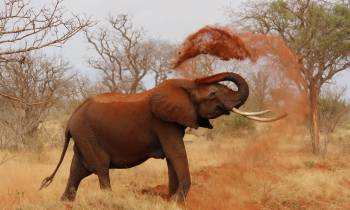 a large brown elephant standing in the grass