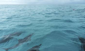 Dolphins at Fundu Lagoon