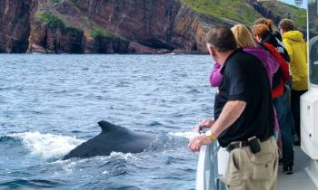 Whale Watching in Bay Bulls