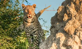 a leopard standing on a rock