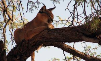 Lynx in a tree, Namibia