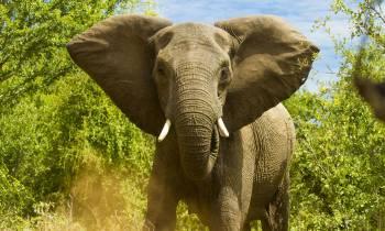 Elephant in Zimbabwe