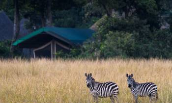 a group of zebra standing on top of a grass covered field