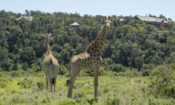a couple of giraffe standing on top of a lush green field
