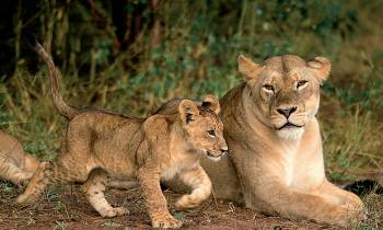 Lion and cub in South Africa