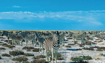 Zebra in the Etosha National Park