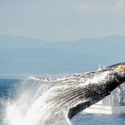 Breaching Humpback with