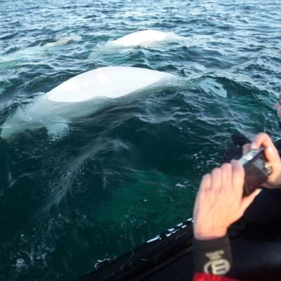 Beluga Whales Summer Arctic Adventure Cr Destination Canada