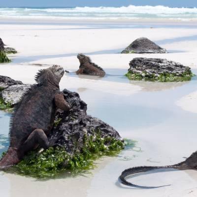 Iguana in the Galapagos Islands