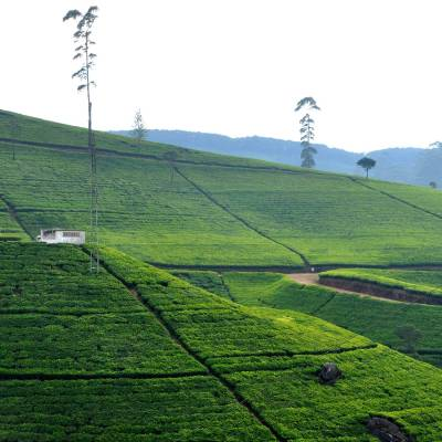 Tea Plantations, Nuwara Eliya, Sri Lanka