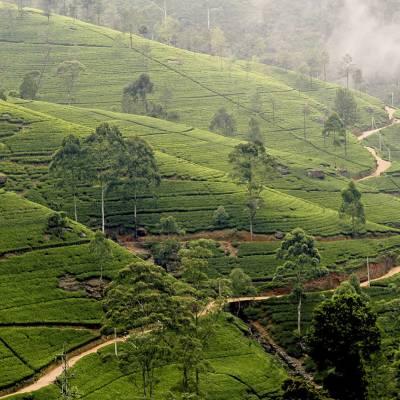 Sri Lankan Tea Plantation