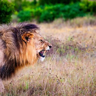 a lion in a grassy field