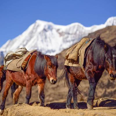 Horses in the Himalayas