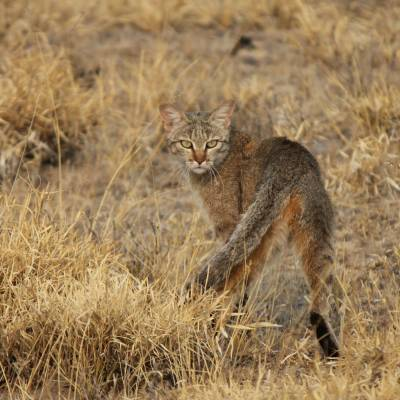 a cat is standing on a dry grass field