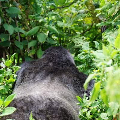 a black bear walking across a lush green forest
