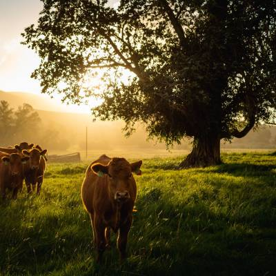 Cattle at Ranch