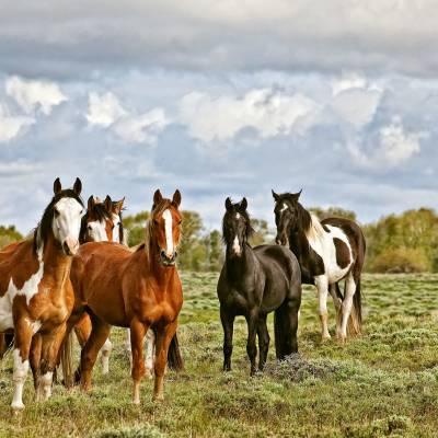 Stock horses