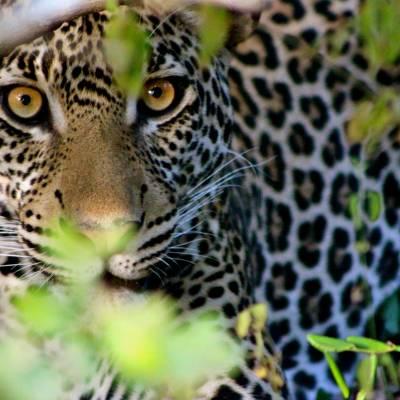 a close up of a leopard