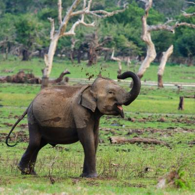 Asian Elephant in Yala