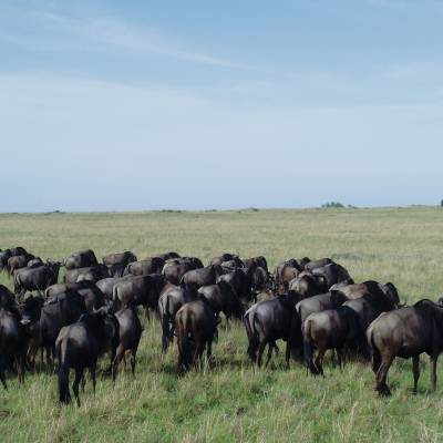 a herd of sheep standing on top of a lush green field