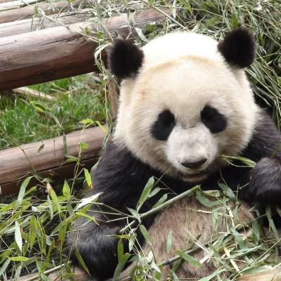 Giant Panda Sanctuary