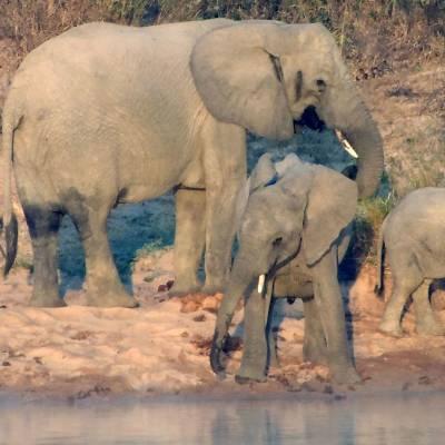 Elephants drinking