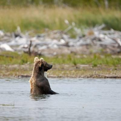 Grizzly Bear in Katmai National Park