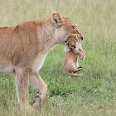 Lioness and cub, Kenya