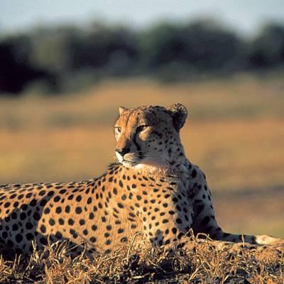 a leopard standing on a field