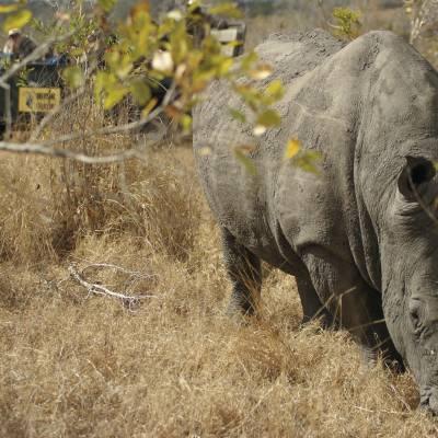 Rhino at Malamala Game Reserve Main Camp