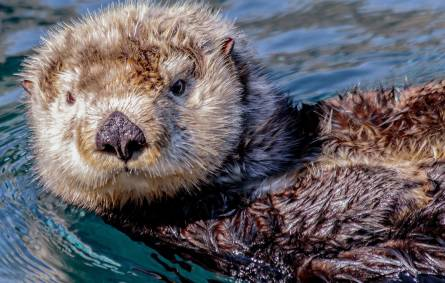 Close up of a sea otter swimming on its back