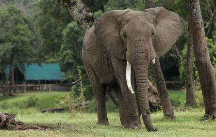 Elephants in Masai Mara, Kenya