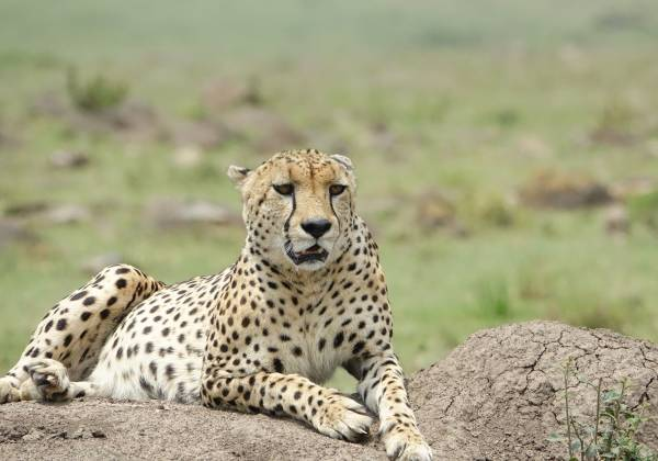 a cheetah lying in the grass