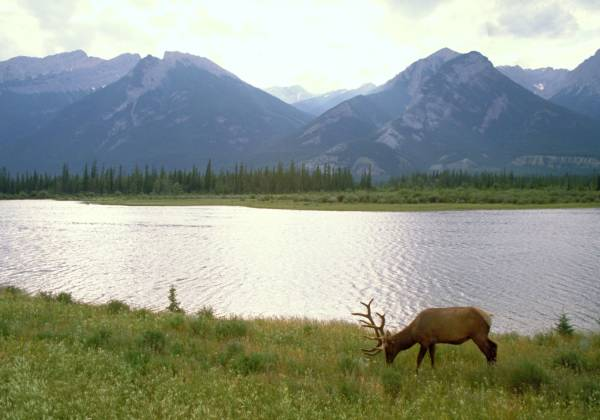 Elk, Canadian Rockies, Jasper National Park, Alberta