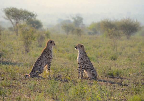 a leopard walking in a grassy field