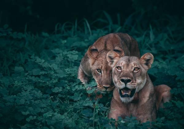 Lions Chobe NP geran de klerk