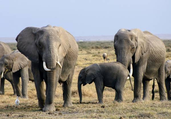 a herd of elephants walking across a dry grass field