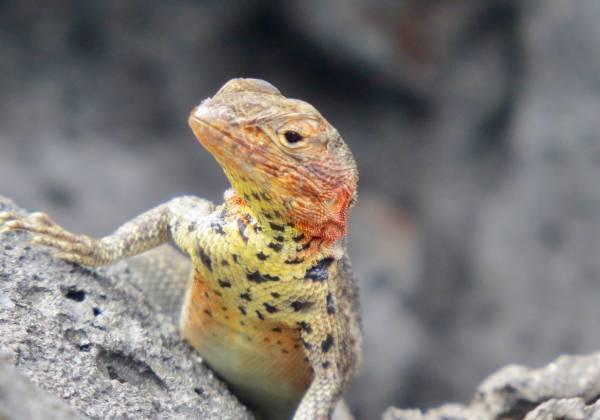 a close up of a lizard on a rock