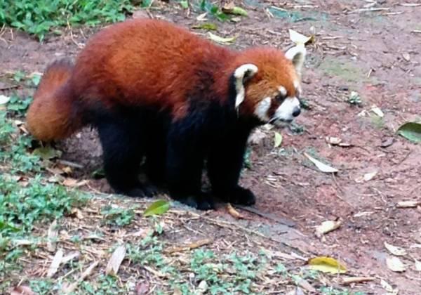 a panda bear walking across a dirt road