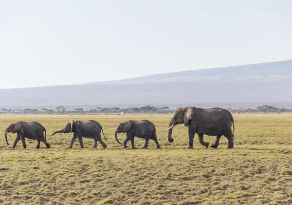 a herd of elephants walking across a dry grass field