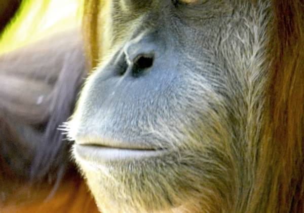a close up of a monkey looking at the camera