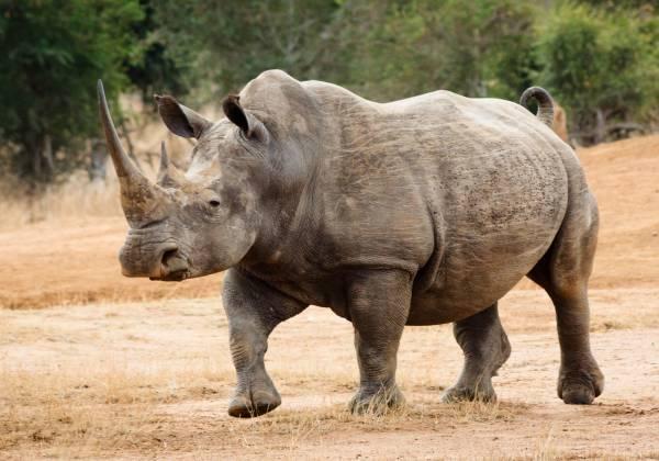 a rhinoceros standing in a dirt field
