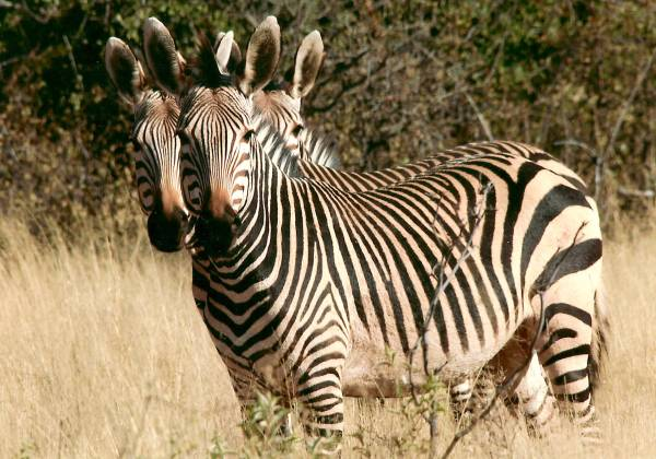 Zebras in the bush