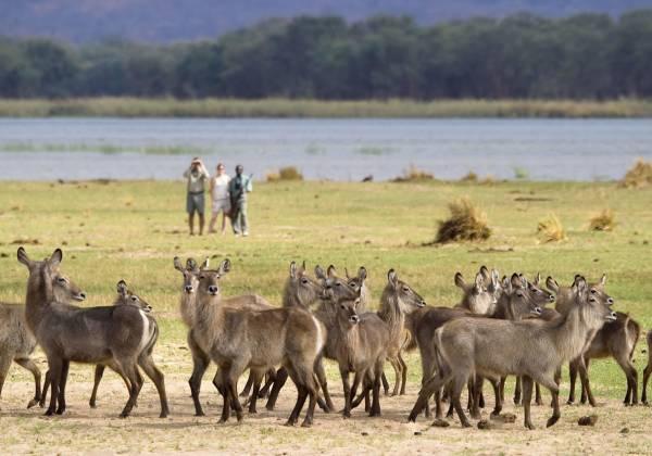 Deer in Zimbabwe