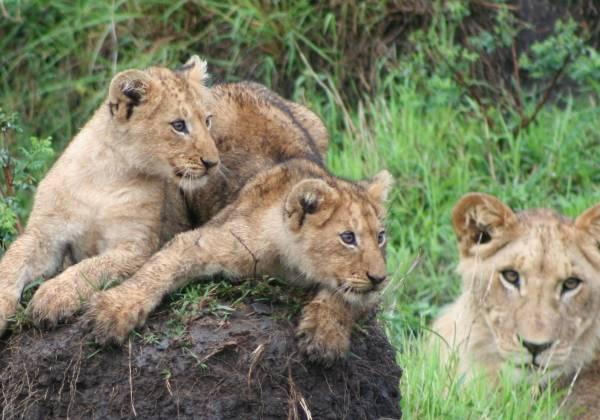 Lions of Masai Mara Kenya