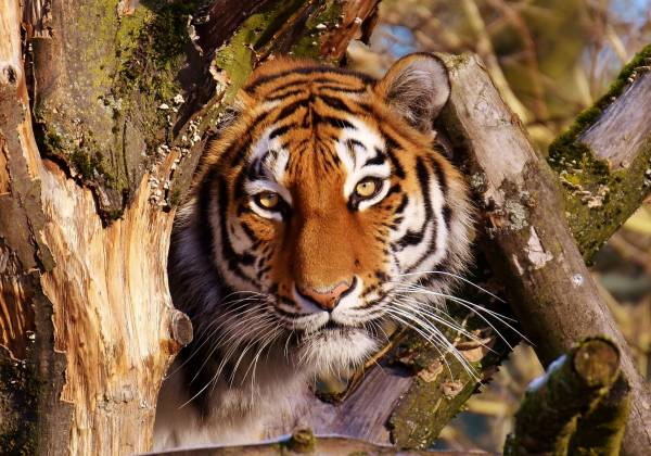 a tiger sitting on the branch of a tree