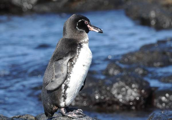 a penguin standing on a rock next to a body of water