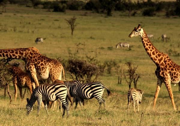 Giraffe and Zebra in Mahali Mzuri